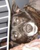 MIKI (petit mâle 4/5 ans - amputé patte arrière) - ADOPTE -