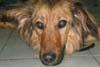 TCHARA (femelle petit Berger handicapée du train arrière - 2/3 ANS) - ADOPTEE -