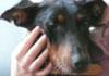 TESS (femelle Dobermann en SOS) - ADOPTEE -