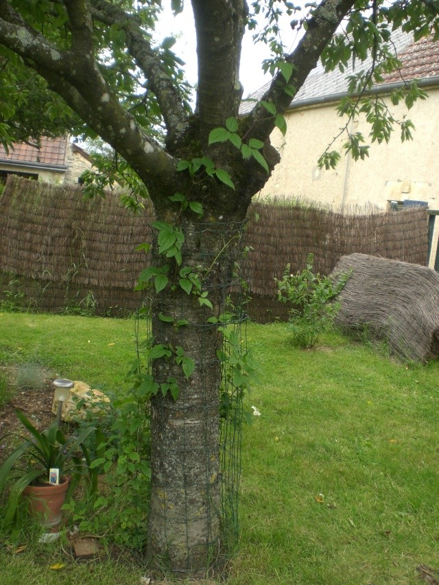 Sur quelle plante peut on faire pousser une cl matite au jardin forum de jardinage - Faire pousser un cerisier ...