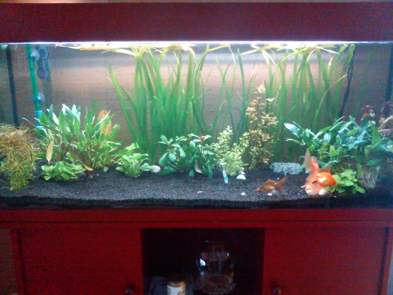 Bonjour for Image aquarium poisson rouge