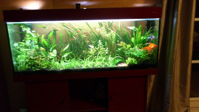 240l pr japonais et deux 20l betta splendens for Donne aquarium