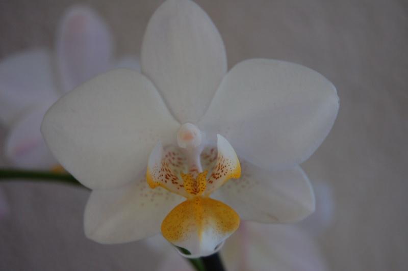 Forum orchid es nature que faire avec la tige - Comment couper la tige d une orchidee apres floraison ...