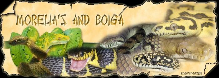 Morelia's & Boiga