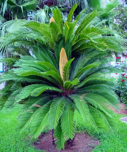 tipos más comunes de palmera que podemos encontrar fácilmente y que