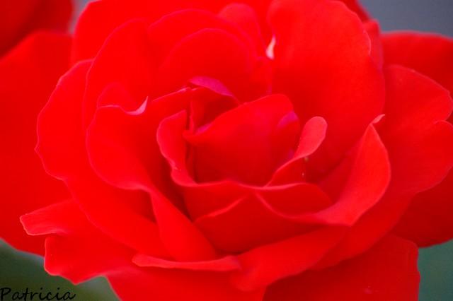 la ROSE dans fleurs 00710