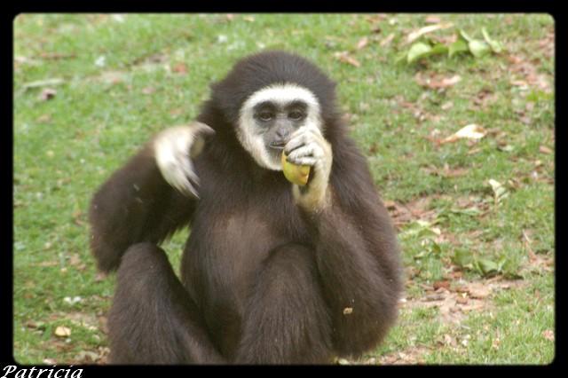chimpanzé dans animaux 27710