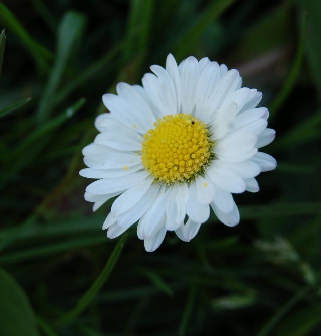 fleur des champs dans Mes coups de coeur... paquer10