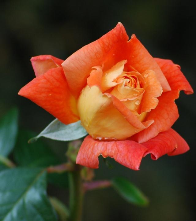 rose_o10