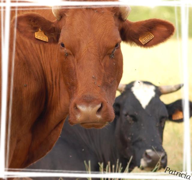 vaches10 dans Mes coups de coeur...