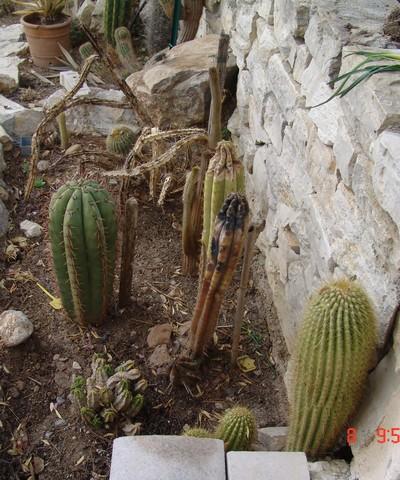 Cactus exterieur hiver 28 images plantes grasses en 26 for Plante exterieur hiver