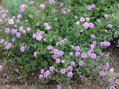 Lantana for Plante couvre sol persistant