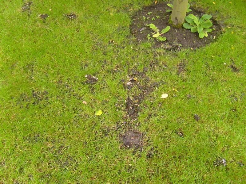 parasite mousse ou champignon de pelouse au jardin forum de jardinage. Black Bedroom Furniture Sets. Home Design Ideas