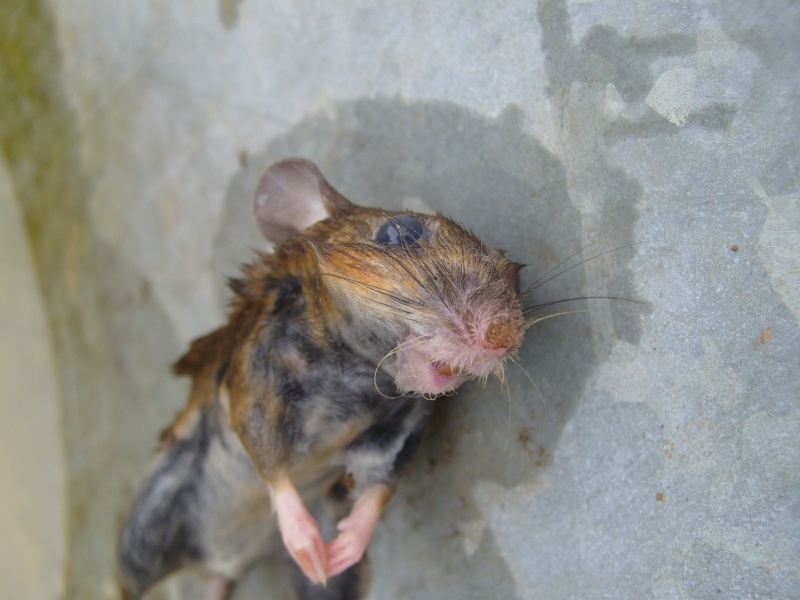 macabre d couverte rat ou mulot au jardin forum de jardinage. Black Bedroom Furniture Sets. Home Design Ideas