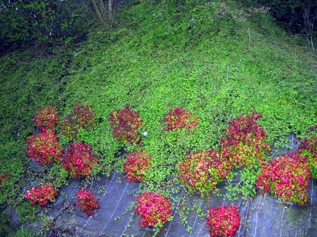 Nom de cette plante couvre sol - Plante couvre sol vivace ...