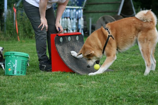 L'akita-inu, le chien samouraï