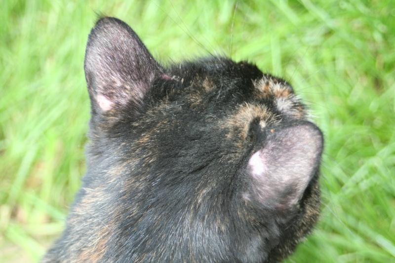 Plaques sans poils sur les oreilles - Chat qui perd pas ses poils ...