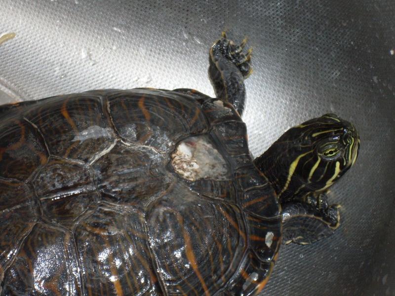 Aquarium pour tortue de floride for Bassin exterieur pour tortue de floride