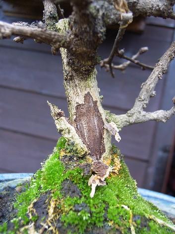 bonsai ficus perd ses feuilles vertes