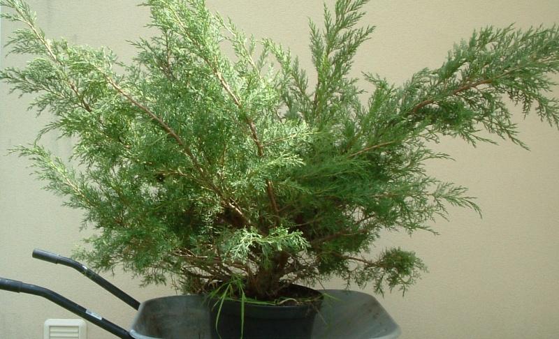 Exemple de cr ation sur un genevrier - Comment faire un bonsai ...