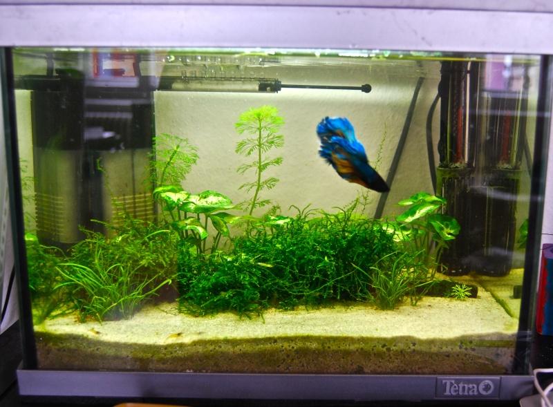 Mon 30l avec blue pearl et betta page 3 for Poisson aquarium 30l
