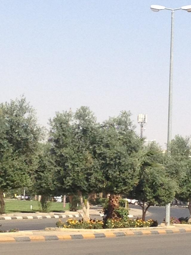 شجرة الزيتون في شوارع طبرجل img_1813.jpg