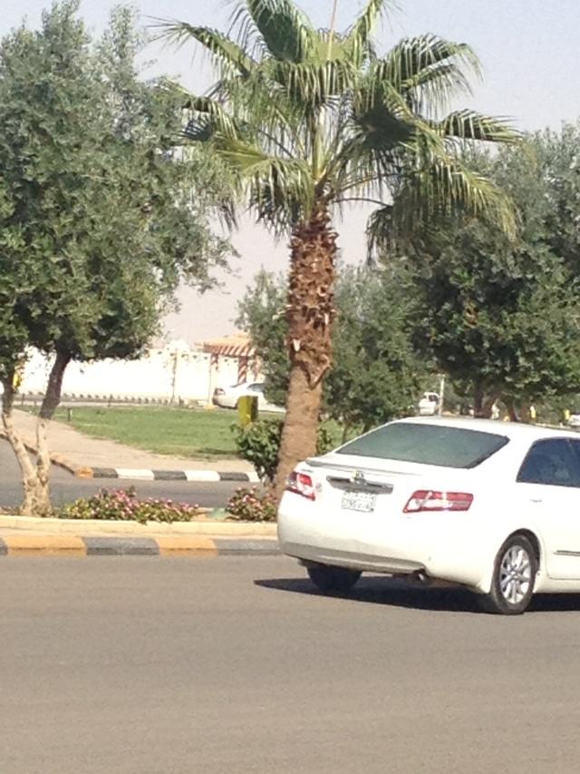 شجرة الزيتون في شوارع طبرجل img_1814.jpg