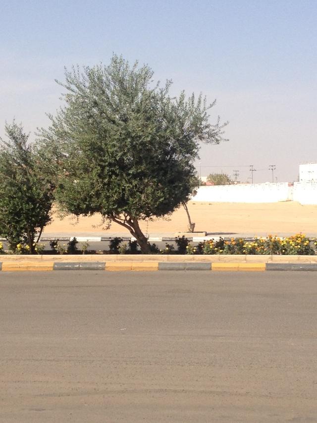 شجرة الزيتون في شوارع طبرجل img_1815.jpg