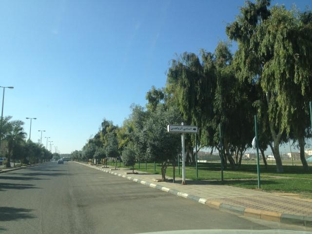 شجرة الزيتون في شوارع طبرجل img_2610.jpg