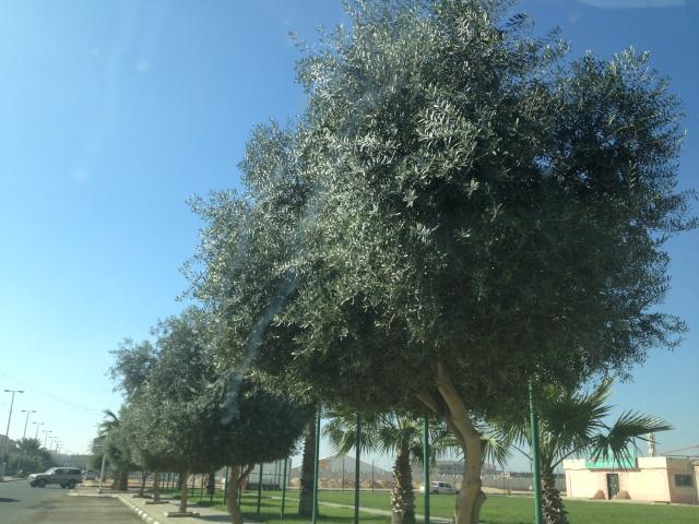 شجرة الزيتون في شوارع طبرجل img_2611.jpg
