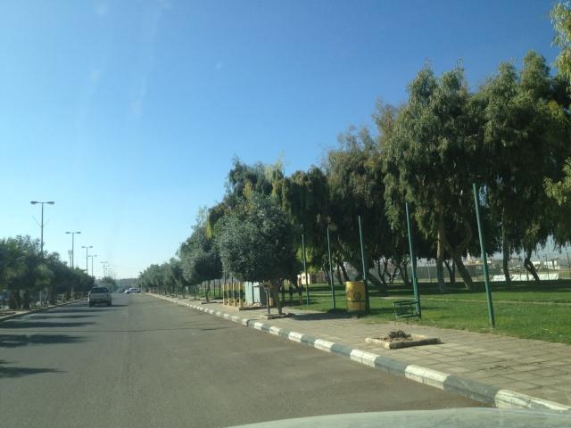 شجرة الزيتون في شوارع طبرجل img_2612.jpg