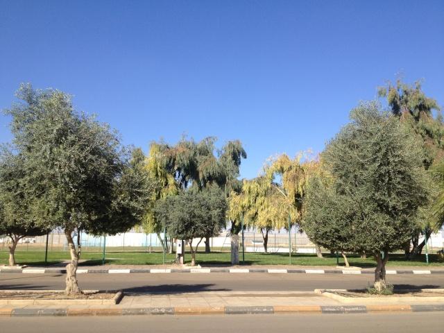 شجرة الزيتون في شوارع طبرجل img_2614.jpg