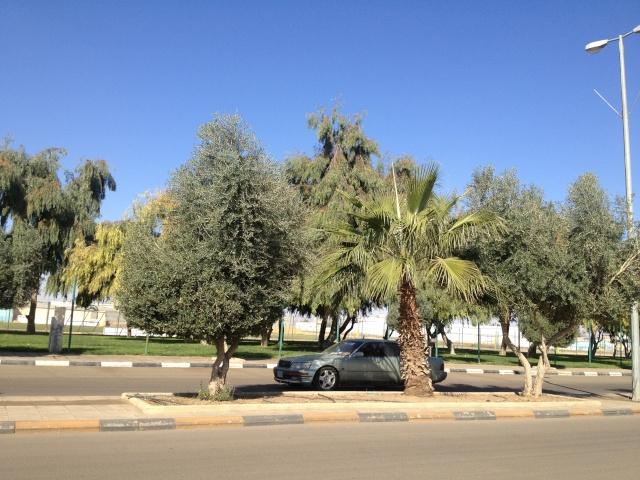 شجرة الزيتون في شوارع طبرجل img_2617.jpg