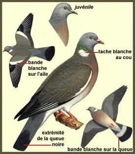 Le pigeon ramier - Dessin de pigeon ...