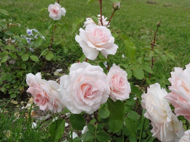 certains rosiers ont des fleurs aux couleurs changeantes au fil des saisons. Black Bedroom Furniture Sets. Home Design Ideas