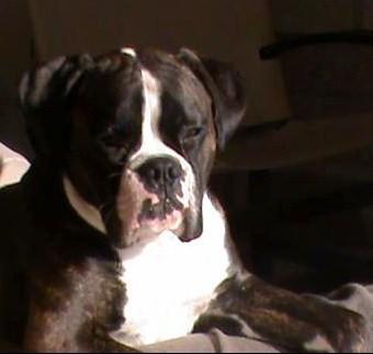 boxer ami adoption