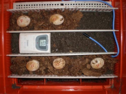 Incubazione uova tartaruga for Incubazione uova tartaruga