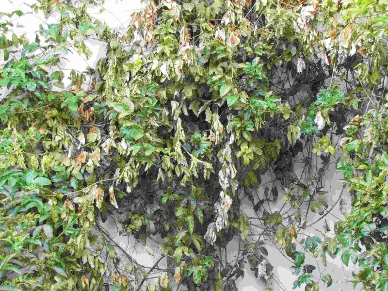 Dess chement de plants de passiflore - Les jardins de passiflore ...
