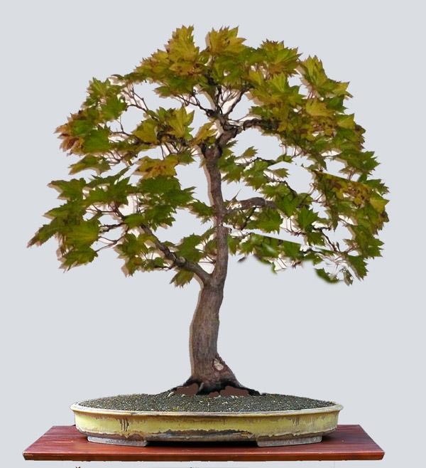 acer shirasawanum 39 aureum 39 bonsai. Black Bedroom Furniture Sets. Home Design Ideas