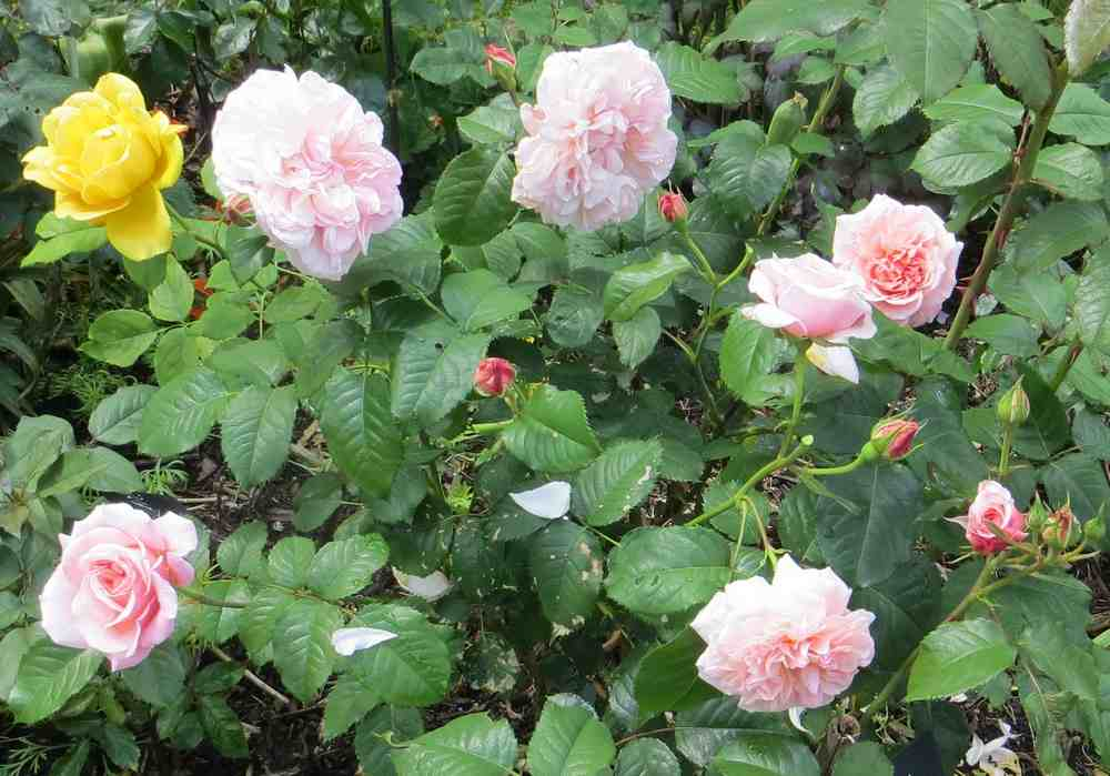 rose_d14.jpg