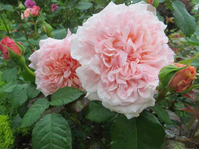 rose_d17.jpg