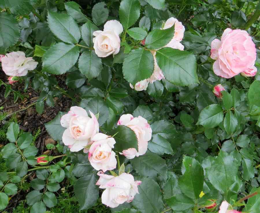rosent10.jpg